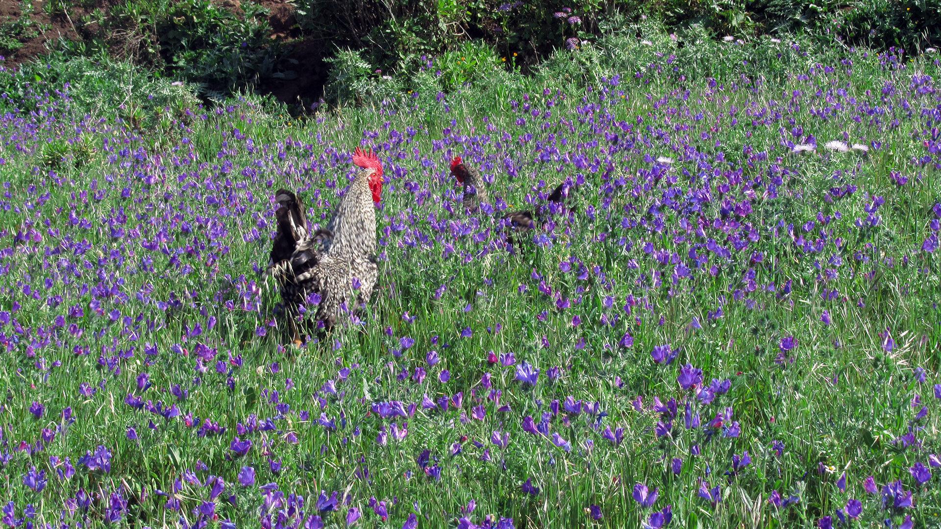 turismo rurale La Palma Canarie gallo palmero