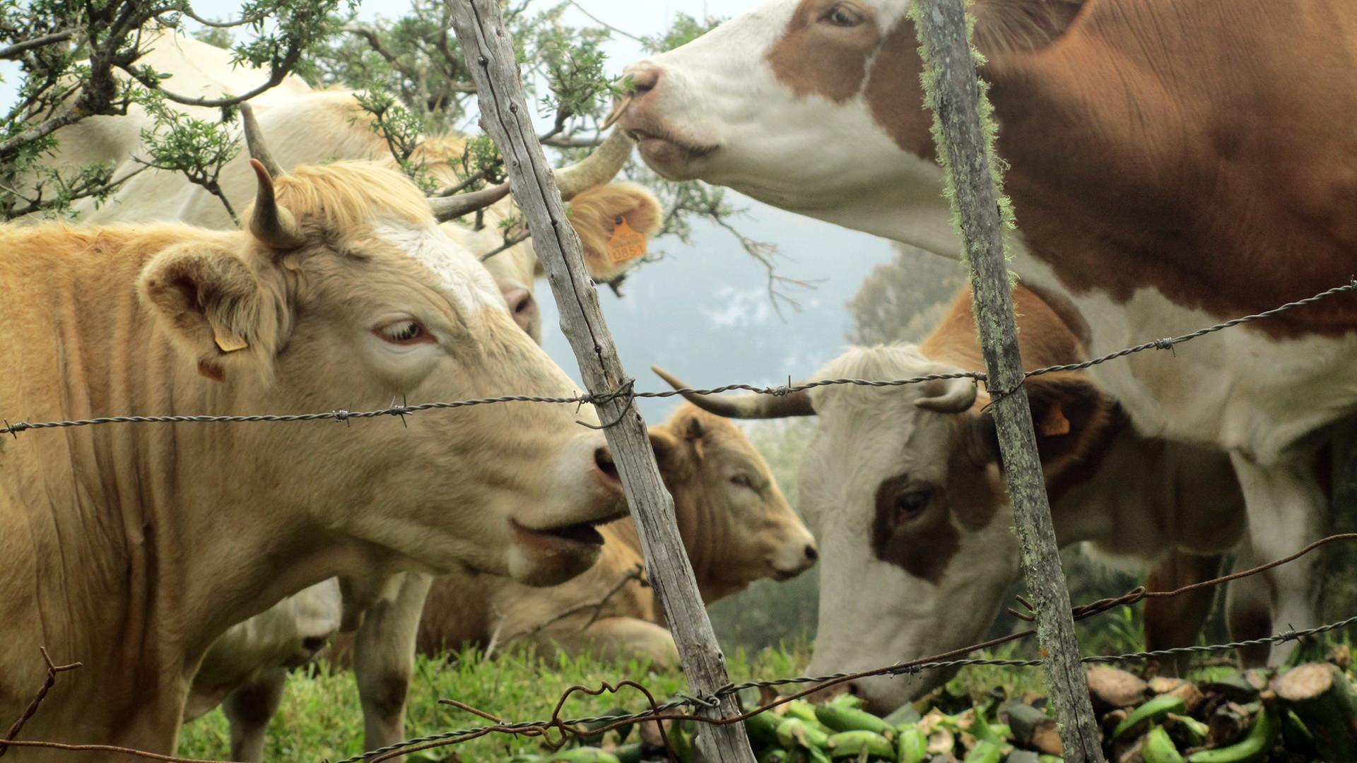 turismo rurale La Palma Canarie mucche e-banane