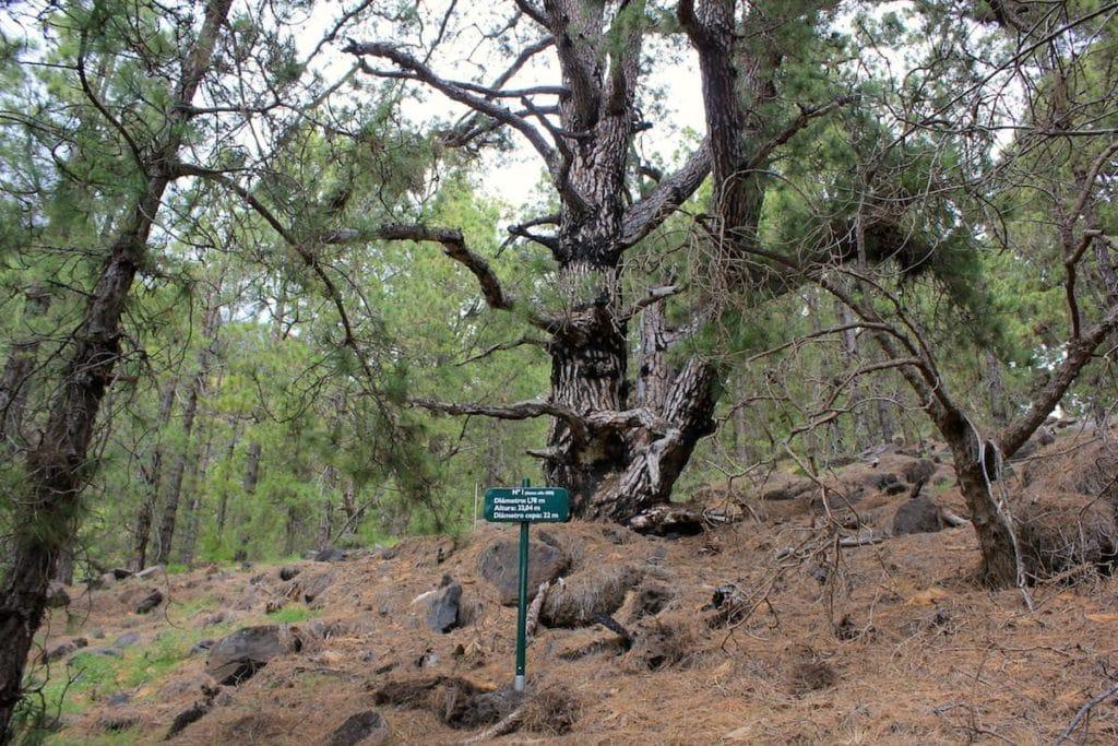 La Palma Caldera Sentiero Pino Gordo 1