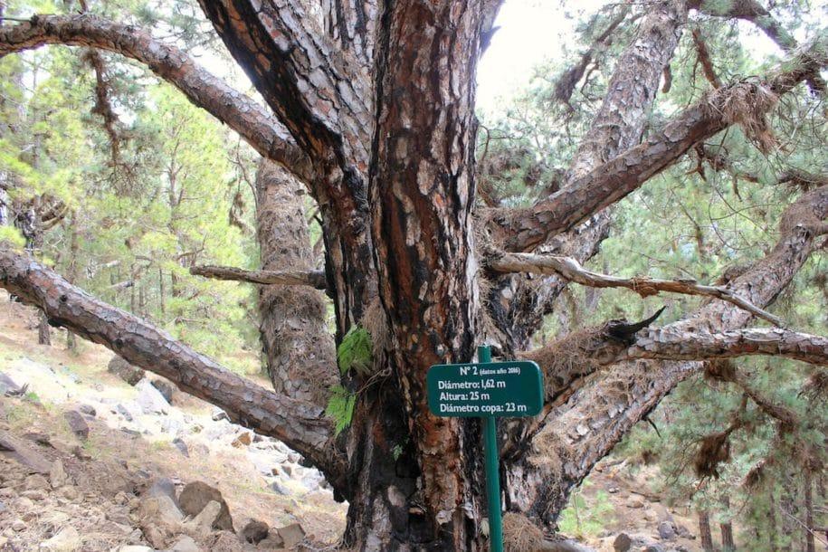 La Palma Caldera Sentiero Pino Gordo 2