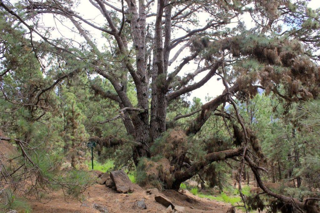 La Palma Caldera Sentiero Pino Gordo 3