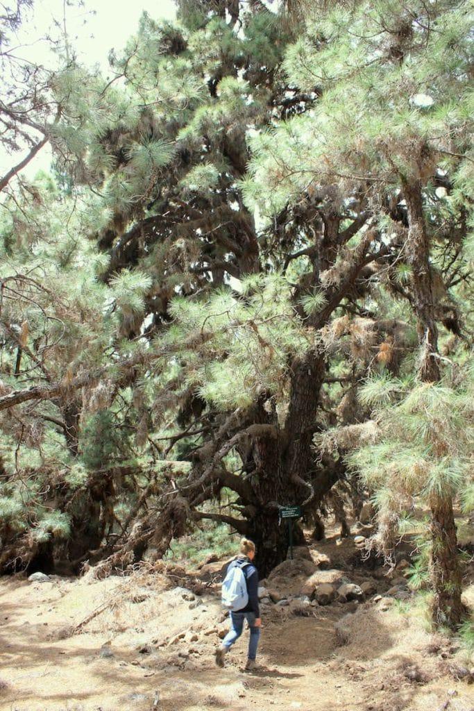 La Palma Caldera Sentiero Pino Gordo 8