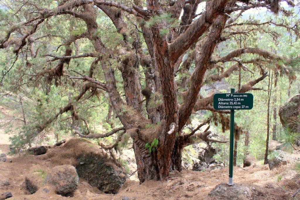 La Palma Caldera Sentiero Pino Gordo 9