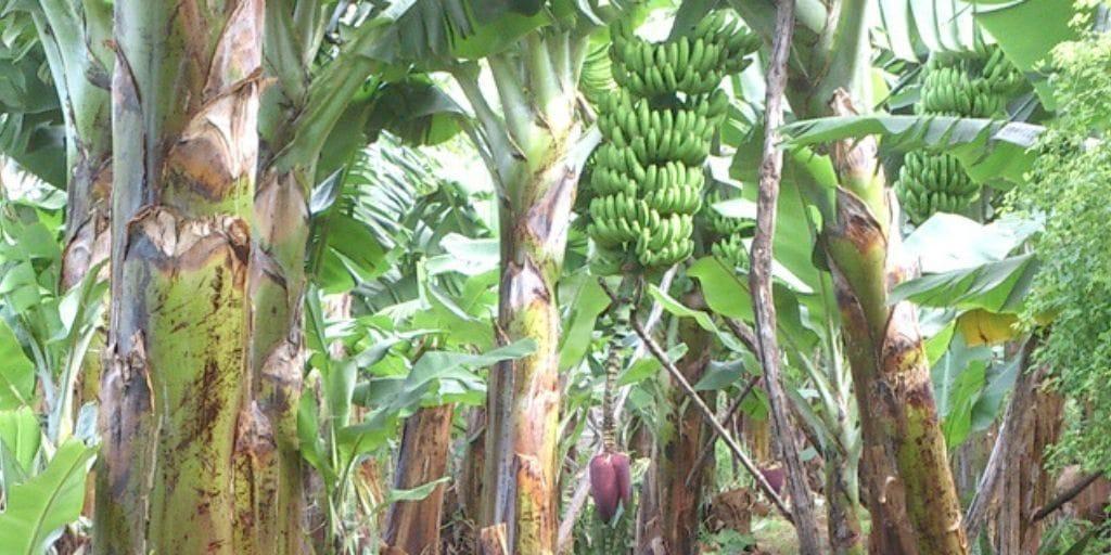 El Platanologico- ecological bananas plantation in La Palma 2