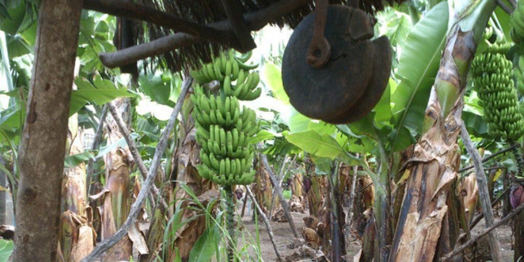 El Platanologico- ecological bananas plantation in La Palma 3