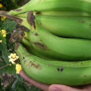 El Platanologico- ecological bananas plantation in La Palma