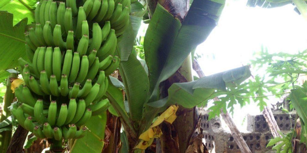 El Platanologico- ecological bananas plantation in La Palma 6