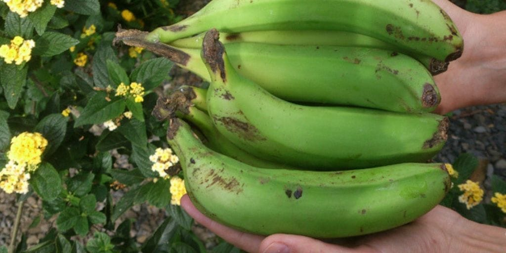 El Platanologico- ecological bananas plantation in La Palma