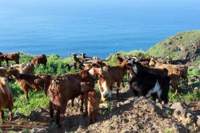 Raza de cabra típica de La Palma de Las Islas Canarias