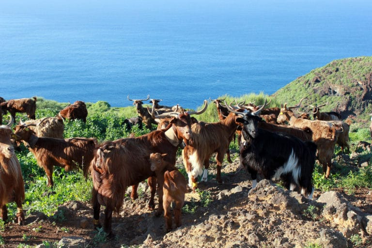 Typical breed of goats from La Palma, Canary Islands