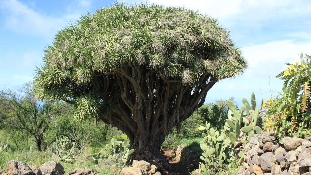 le camminate più belle de La Palma i draghi Dracaena Draco
