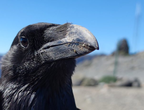 Roque-de-Los-Muchachos-cuervo